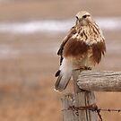 Prairie Hawk (1) by JamesA1