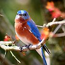 Song of the Bluebird by tabbymichelle