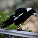 Australian Magpie   by Anna Ryan