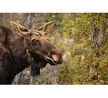 Spring Bull Moose Photographic Print