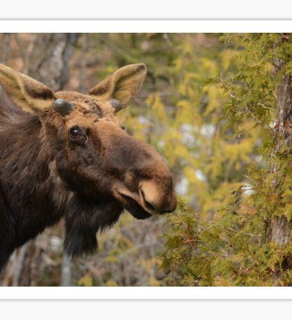 Spring Bull Moose Sticker