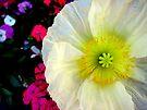 Peaceful Poppy by Akrotiri