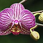 Orchid for Dinner by David Alexander Elder