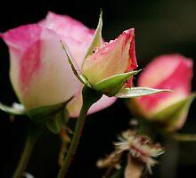 Life of a Rose by David Alexander Elder