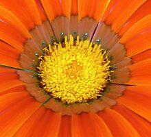 Orange Petals by David Alexander Elder