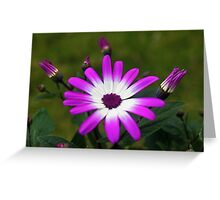 Purple and White Daisy Greeting Card