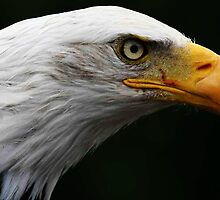 Bald Eagle by Alan Harman