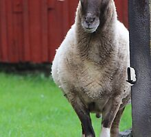 My father was a cameroon sheep by karina5
