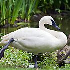Trumperter Swan Standing At Rest by Kenneth Keifer