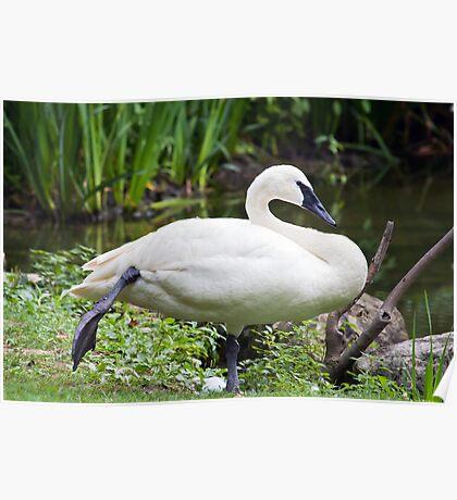 Trumperter Swan Standing At Rest Poster
