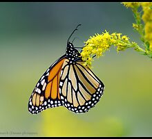 Monarch... by pieceoflace