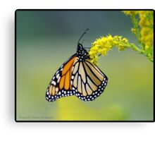 Monarch... Canvas Print