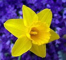 Easter Daffodil by David Alexander Elder