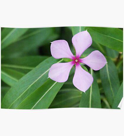 Pentagon Five Petal Purple Flower Poster