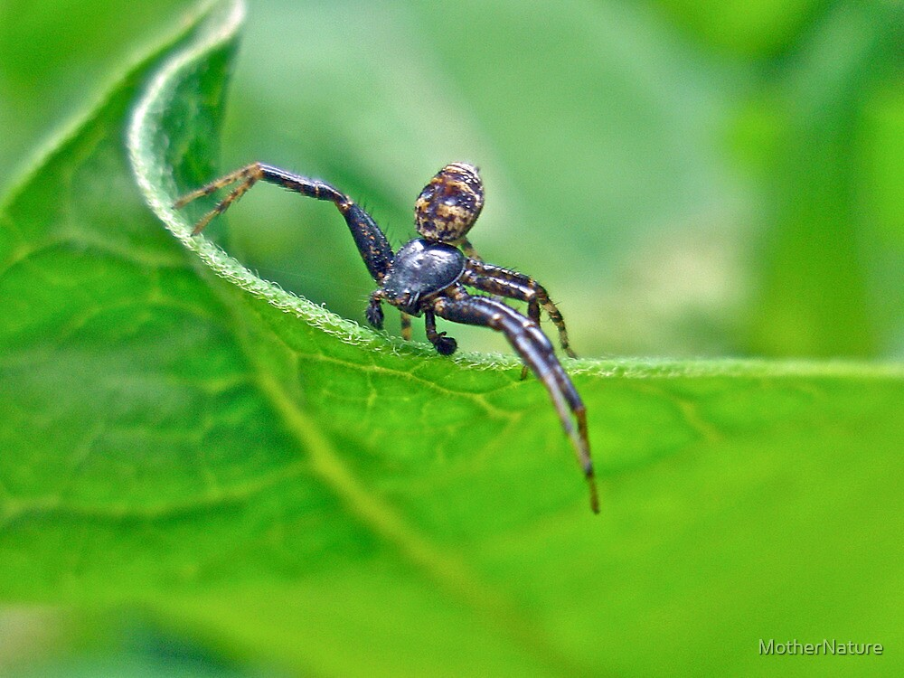 Xysticus Crab Spider - Male by MotherNature
