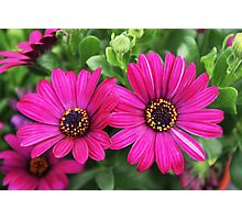 Twin Pink Daisies Photographic Print