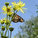 Butterfly Enjoying the Sunshine by Barberelli