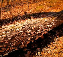 Autumn Forest Scene - Fall Time - Tree Log with Fungi & Mushrooms in Sunlight by Chantal PhotoPix