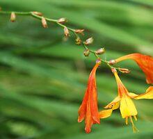 Orange and Yellow Perenial by David Alexander Elder