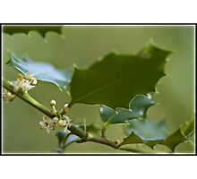 Holly leaves Photographic Print