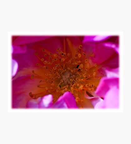 In the heart of a rose Photographic Print