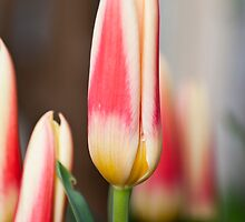 Red and yellow tulips by Wealie