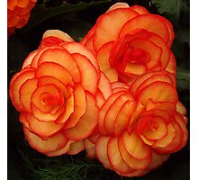 Orange and Red Begonia Photographic Print