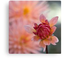 Peachy Dahlia Canvas Print