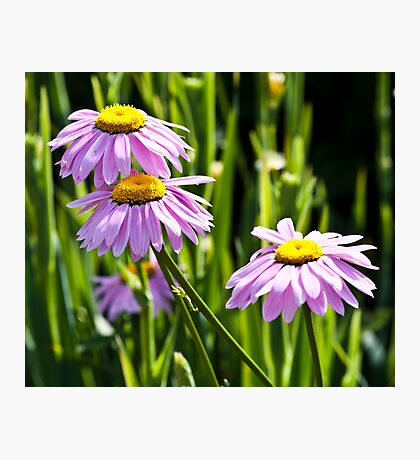 Pink Daisy Bloom Photographic Print