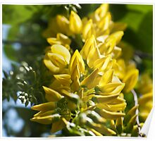 Yellow Wisteria Bloom Poster