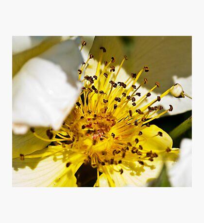 Yellow Rose Stamen Photographic Print