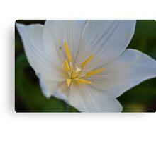 White Tulip Close Up Canvas Print