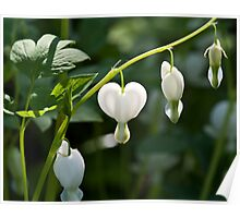 White heart drop flowers Poster