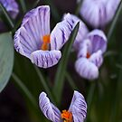 White and Purple Striped Crocuses by Wealie