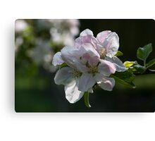 White and Pink Blossom Canvas Print
