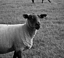 Feeling Sheepish by Cosmo Hill-Miers