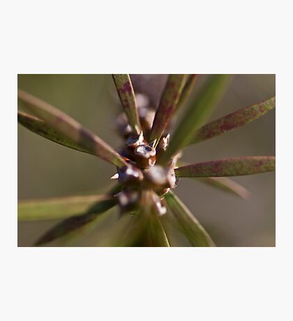 Spiky Seed Photographic Print
