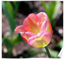 Sunlit Pink and Green Tulip Poster