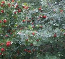 European Rowan fruit   which referred to the red foliage and red berries in the autumn. Views (343) Thx! friends !!! by © Andrzej Goszcz,M.D. Ph.D