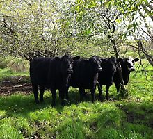 Cows-  standing in unison in the pasture by Mike Myers