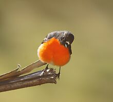 Flame Robin (male) giving me the once over  by Ron Co