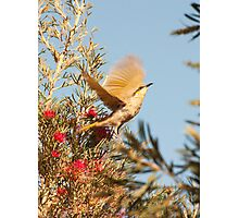 Spread your wings - South Australia honeyeater Photographic Print