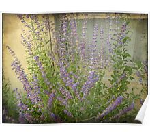 Lavender Outside Her Window Poster
