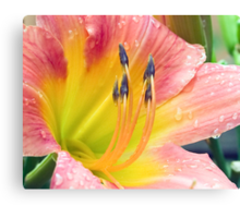 Salmon Pink & Yellow Day Lily Canvas Print