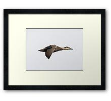 Pacific Black Duck  Motion of flight -  (featured RB homepage 24th May 2015) Framed Print