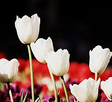 Tulips in a Row by NinaJoan