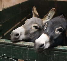 Donkeys with Heads Together - Omega - 7-11 by denisespictures