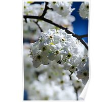 Asian Pear Flowers Poster