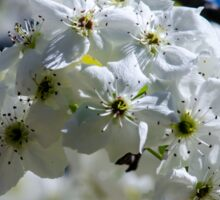 Asian Pear Flowers Sticker