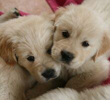 Our Golden Retriever puppies by JulesVandermaat